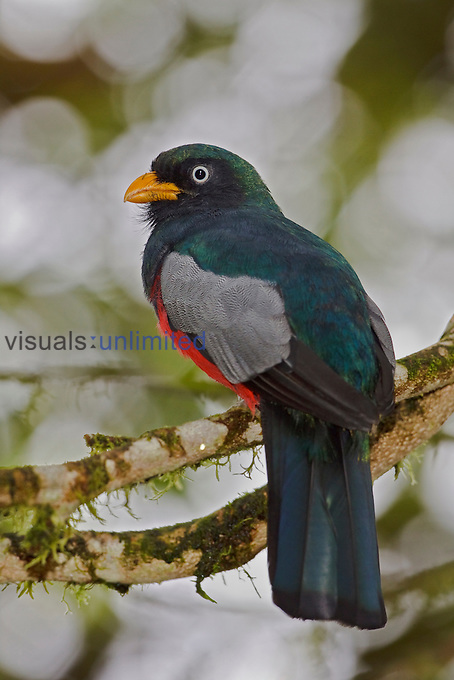 Choco or White-eyed Trogon (Trogon comptus) perched on a branch, Milpe Reserve, Ecuador.