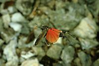 Rotflüglige Schnarrschrecke, Rotflügelige Schnarrschrecke, Männchen im Flug, Psophus stridulus, Acridium stridulum, Rattle grasshopper, male