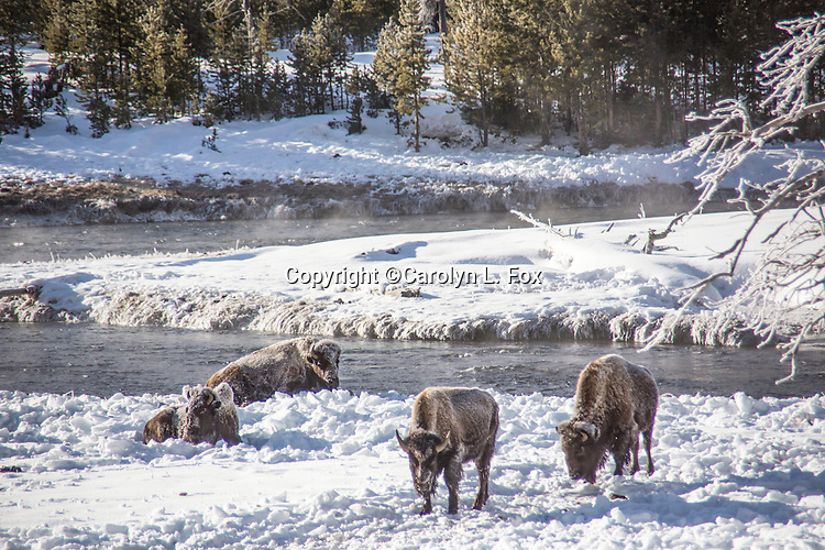 Bison are in the snow in Yellowstone in the winter.