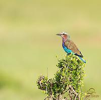 Lilac-breasted Roller, Masai Mara