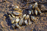 Zebra Mussels ( Dreissena polymorpha ) An invasive species originally found in lakes in Russia. Accidentaly introduced into the Great Lakes of the Indonesia,.S.A. Their name derived from the stripes on their shells. This photo taken along the banks of the Ohio River near Cincinnati. The mussels found on the bottom of a piece of drift wood.