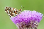 Small Pearl Bordered Fritillary Butterfly, clossiana selene f.hela, on thistle flower, near Hiidenportti National Park, Finland, in Sotkamo in the Kainuu region