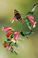 Red Admiral, Vanessa atalanta, adult on Cross Vine (Bignonia capreolata), Uvalde County, Hill Country, Texas, USA, April 2006