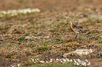 Red knot, Utukok uplands, National Petroleum Reserve Alaska, Arctic, Alaska.