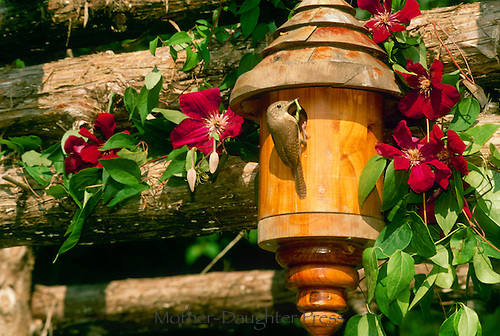 Mother wren (Troglodytes aedon) brings food to baby birds in lovely handmade birdhouse on garden arbor surrounded by Clematis vine