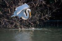 Great Egret, Ardea alba, adult with fish, Sanibel Island, Florida, USA, Dezember 1998