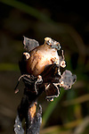 Indian Pipe fruit, Monotropa uniflora, Corpse Plant, Ghost Plant