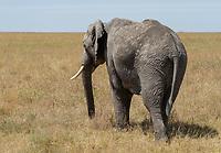 African Elephant, Loxodonta africana, in Serengeti National Park, Tanzania