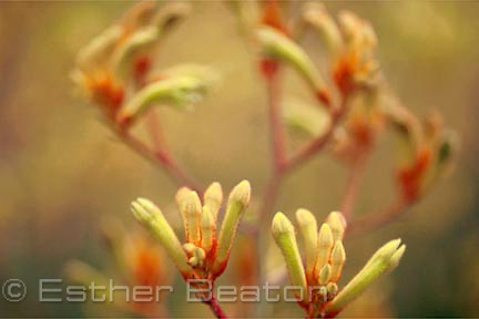 Close up of Yellow Kangaroo Paw flowers (Anigozanthus flavidus) in garden. From Western Australia.