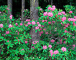 Olympic National Forest, WA <br /> Flowering pacific rhododendron (R. macrophyllum) state flower of WA in an old growth for/hemlock forest