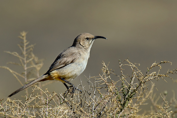 581970015 a wild lecontes thrasher toxostoma lecontei perches on a desert plant in kern county california united states