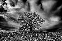 Tree and storm clouds in corn field<br />
