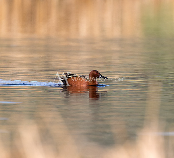 The cinnamon teal is one of Yellowstone's more colorful waterfowl.
