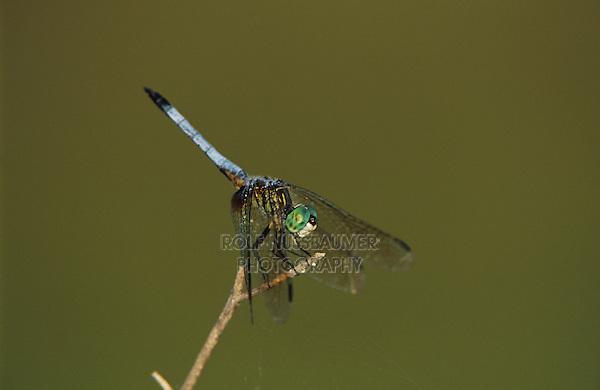 Blue Dasher, Pachydiplax longipennis, male perched, Welder Wildlife Refuge, Sinton, Texas, USA, June 2005