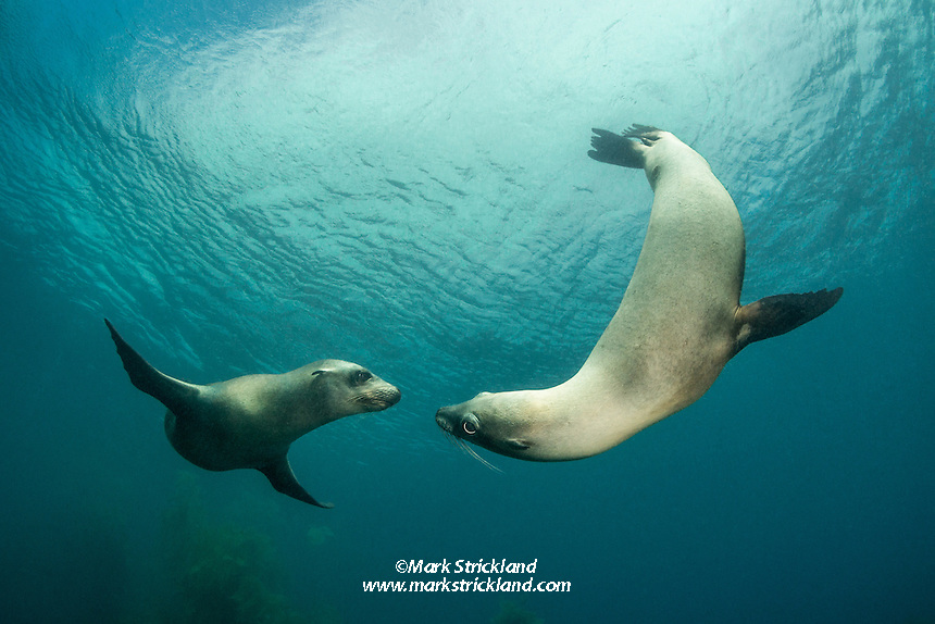 California Sea Lions , Zalophus californianus, Santa Barbara Island, Channel Islands, California, Pacific Ocean, USA