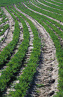 Europe/France/Normandie/Basse-Normandie/50/Manche/Créances: Champ de carottes des sables de Créances