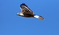 Hawk - Ferruginous