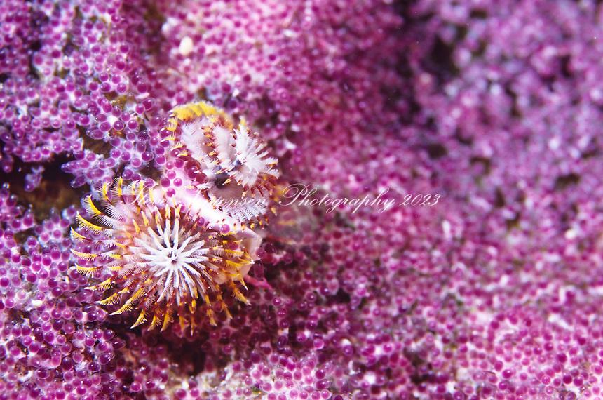 Christmas Tree Worm<br /> (Spirobranchus giganteus)<br /> Caribbean