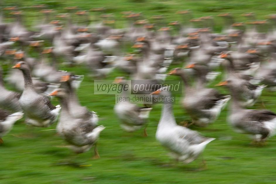 Europe/France/Aquitaine/40/Landes/Montaut:Elevage d'oie à la ferme de la famille Dupouy