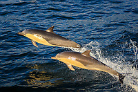 short-beaked common dolphin, Delphinus delphis, jumping, leaping, False Bay, South Africa, Atlantic Ocean
