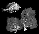 X-ray image of fish and sea fans (white on black) by Jim Wehtje, specialist in x-ray art and design images.