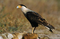 Crested Caracara, Caracara plancus, adult walking, Starr County, Rio Grande Valley, Texas, USA, May 2002