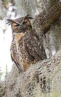 Great horned owl in Spanish moss