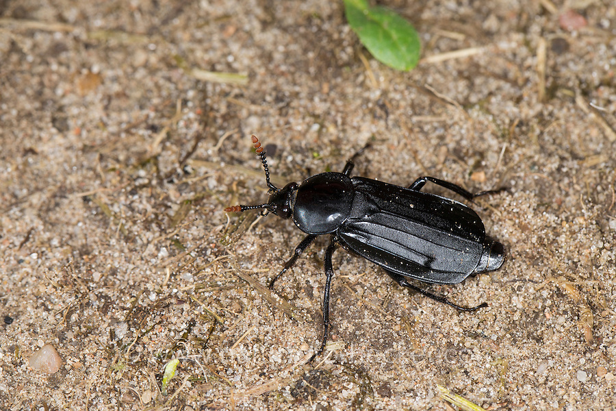 Schwarzer Totengräber, Aaskäfer, Necrophorus humator, Nicrophorus humator, sexton burying beetle, black burying beetle, Black Sexton Beetle, Silphidae, large carrion beetles, carrion beetles, burying beetles