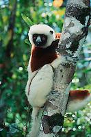 Coquerel's Sifaka (Propithecus coquereli), adult in tree, Madagascar, Africa