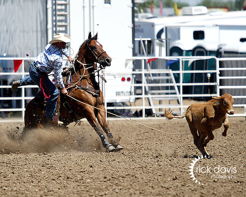 Justin Maass turns in a time of 8.3 seconds to win tie down roping in short go action at the Greeley Independence Stampede Rodeo on July 4, 2008.