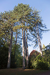 Black pine trees, Pinus Nigra, National arboretum, Westonbirt arboretum, Gloucestershire, England, UK