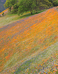 Sierra National Forest, CA<br /> Lupine and California poppies blooming of a hillside with oaks tree on the Moss Creek Trail near El Portal