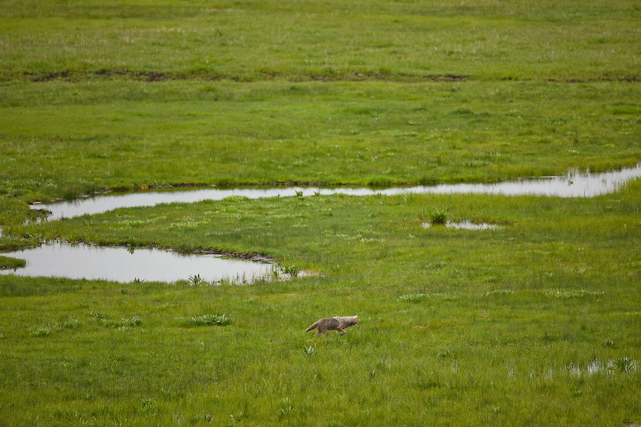 A single coyote hunts in a grassy plain.