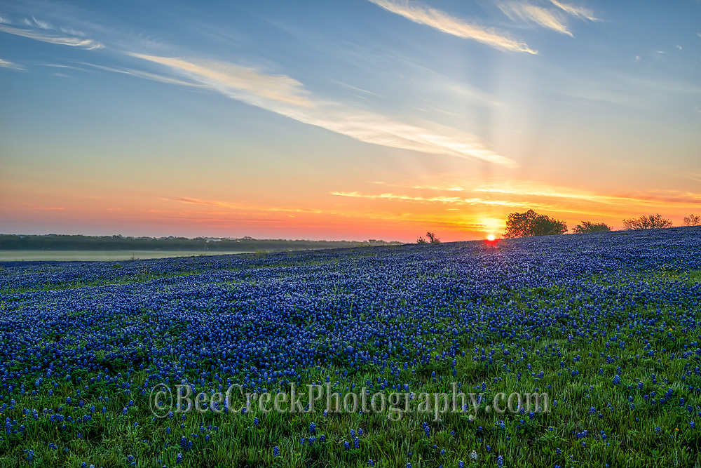 Sunrise over the bluebonnet landscape in this pasture.  We got there early so we could see mist over the field of flowers as sun rays came up over the horizon and the sky lit up with color on this ranch near Ennis Texas in spring with this field of blue this spring.