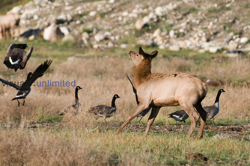 Rocky Mountain Elk (Cervus elaphus) yearling chasing Canada Geese, Canada