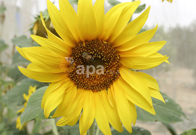A bee collects pollen on a sunflower on a field in the southern Gaza Strip town of Rafah on June 26, 2011. Photo by Abed Rahim Khatib