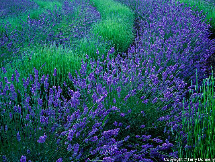 Vashon Island, WA<br /> Curving rows of lavender (Lavendula vera) in a cultivated field