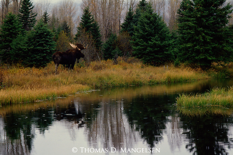 A moose forages for food near a beaver pond during an autumn rain storm in Grand Teton National Park, Wyoming.