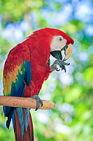 scarlet macaw, Ara macao, adult, preening its foot on a tree, Pantanal, Mato Grosso, Brazil, South America