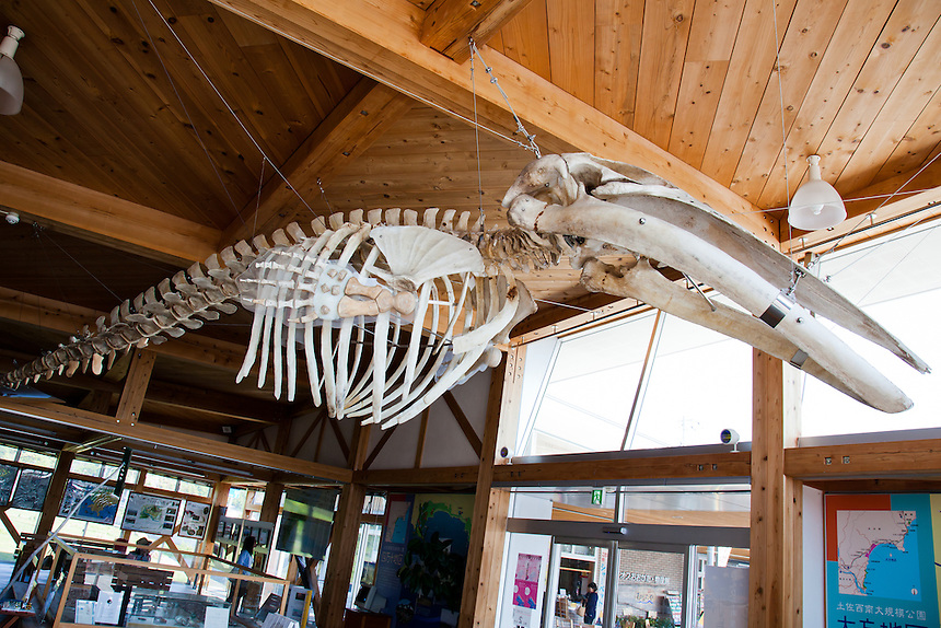 A full size whale skeleton is suspended from the ceiling of the Kuroshio visitors center.