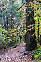 A walk along a trail in the Yosemite Valley floor among the pines and autumn colors of dogwoods, oaks, and maples