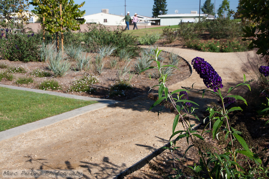 A butterfly bush (Buddleia / Buddleja, likely Buddleja davidii 'Black Knight') in flower stands in front of the Stanton Central Park butterfly garden's decomposed granite pathway and diverse plantings.  A couple walking can be seen in the distance.