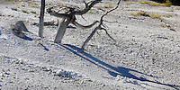 Boo! say the dead tree shadows of Mammoth Hot Springs.