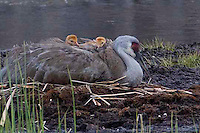 "Sandhill cranes (Grus canadensis) nest almost every year on a little island in a little lake in Yellowstone called ""Floating Island"". Immediately after hatching, the crane colts are taught to swim to the shore where they spend their days learning how to find food. At night though, the adults swim them back to the island. One adult stands guard as the other lays down and the colts climb on board and eventually settle down for the night. A sweet bedtime ritual they repeat every night until the island becomes just to small for the entire growing family."