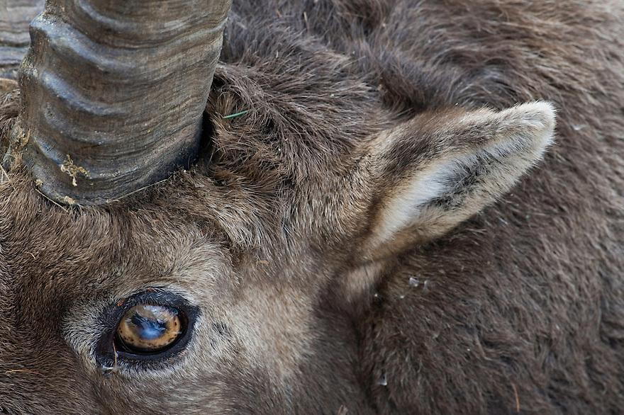 20.11.2008.Alpine Ibex (Capra ibex). Portrait..Gran Paradiso National Park, Italy