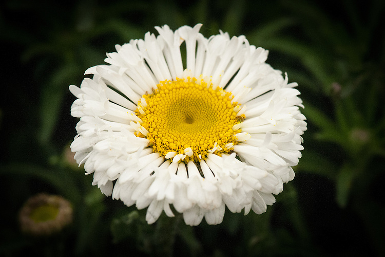 Leucanthemum x superbum 'Real Neat', a Shasta daisy with pure white blooms that have unusual spoon-shaped petals and a feather-like appearance.