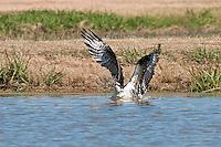 Osprey fishing at Inks Dam Fish Hatchery, Burnet, TX
