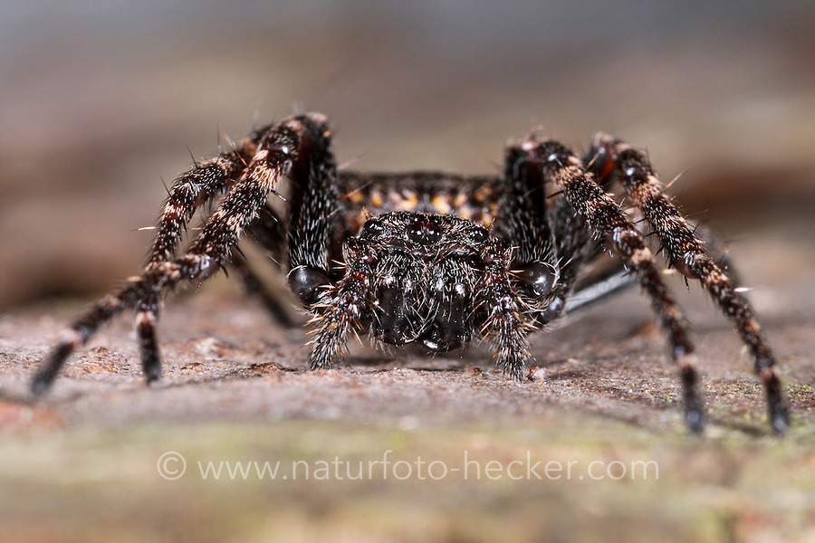Spaltenkreuzspinne, Spalten-Kreuzspinne, Nuctenea umbratica, Walnut Orb-Weaver Spider, walnut orb weaver spider, Walnut Orb Weaver, Araignée des fissures, Épeire des fissures, Épeire nocturne