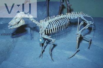 Horse fossil during Miocene period. ,Mesohippus,
