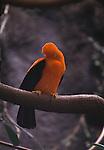 Cock of the rock, ( cotingidae) at the lek
